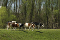 Cows in nature on pasture the village of ivanovo vojvodina serbia Royalty Free Stock Photo
