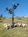 Cows near a post wheel in prairie cerler mountains is located in the spanish pyrenees huesca it is a vertical picture Stock Image