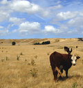 Cows in New Zealand Stock Image