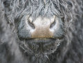 Cows nose Royalty Free Stock Photo
