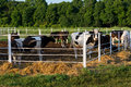 Cows in paddock Stock Image