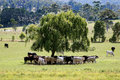 Cows in paddock under tree Stock Photography