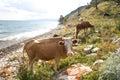 Cows pasturing at Baikal Royalty Free Stock Photo