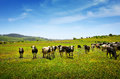 Cows pasturing beautiful rural landscape with vast green field and a herd of Royalty Free Stock Image
