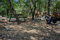 Cows in picnic site herd of settled down the shaded area a grove Royalty Free Stock Images