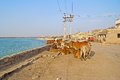 Cows on porbandar embankment group of indian zebu at the of gujarat Stock Photography