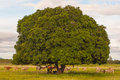 Cows rest beside tree Stock Photography