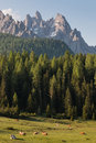 Cows resting on alpine meadow in dolomites Stock Images