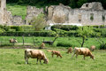 Cows and ruins in Irantzu, Spain Stock Images
