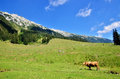 Cows in a scenic summer field in piatra craiului mountains Royalty Free Stock Photo