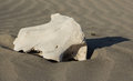 Cows skull part of a remains laying in the sand Royalty Free Stock Images