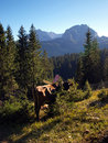 Cows on the slopes of Durmitor near Zabljak Stock Photo