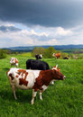 Cows on the spring pasture Royalty Free Stock Image
