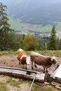 Cows standing next to a wooden trough filled with water the village of achenkirch municipality can be seen on the background Stock Photos