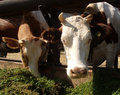 Cows standing in a stall cow s pen sunny summer day Royalty Free Stock Image