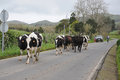 Cows on the street a herd of their way to field walking over and blocking traffic sao miguel azores island Stock Image