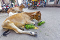 Cows in a street in Jodhpur, India Royalty Free Stock Photo