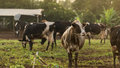 Cows at summer green field Royalty Free Stock Photo
