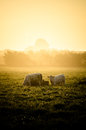 Cows in sun Royalty Free Stock Photo