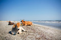 Cows sunbathing several on the beach near the black sea romania Stock Image