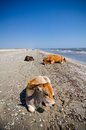 Cows sunbathing several on the beach near the black sea romania Royalty Free Stock Photos