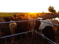 Cows at sunset on the farm Royalty Free Stock Photo