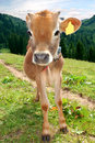 Cows in Swiss alps Stock Images