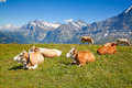 Cows in the swiss alps Stock Photography