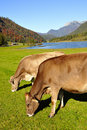 Cows in Tirol Royalty Free Stock Images