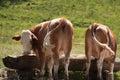 Cows At Trough Royalty Free Stock Image
