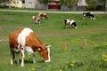 Cows from village ivanovo near city pančevo serbia Royalty Free Stock Photo