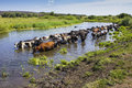 Cows wade cross the river in countryside Stock Photo