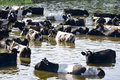 Cows on watering place on river Royalty Free Stock Photo