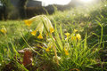 Cowslip flowers Royalty Free Stock Image