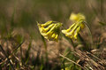 Cowslip primula veris a in a meadow on spring Royalty Free Stock Photography