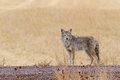 Coyote Photos stock