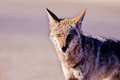 Coyote, Canis latrans Stock Photo