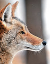 Coyote (Canis latrans) in the Snow Royalty Free Stock Photos