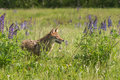 Coyote Canis latrans Stands in the Lupin Royalty Free Stock Photo