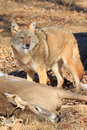 Coyote claiming deer kill Royalty Free Stock Photo