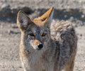 Coyote in death valley california Stock Images