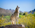 Coyote Howling in American Southwest Royalty Free Stock Photo