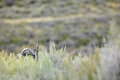Coyote hunter camouflaged behind bushes and scrub Royalty Free Stock Photo