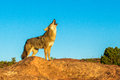 Coyote iconic posture of howling adult on rocky outcrop Stock Image