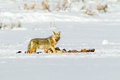 Coyote at kill adult feeding winter on snowy field Royalty Free Stock Image
