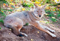 Coyote looking at the camera on a fall day a is while lying down Stock Photo