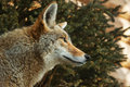 Coyote Looks Right Royalty Free Stock Image