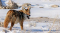Coyote with mouse 2 Royalty Free Stock Photo