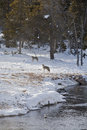 Coyote near Elk Kill, Firehole River Stock Photography
