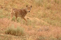 Coyote pausing a in desert grasses in northern colorado Royalty Free Stock Photography